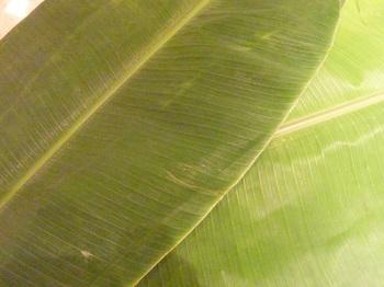 バナナの葉②B.jpg