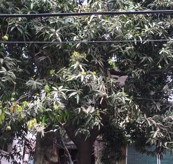 mango treeB.jpg